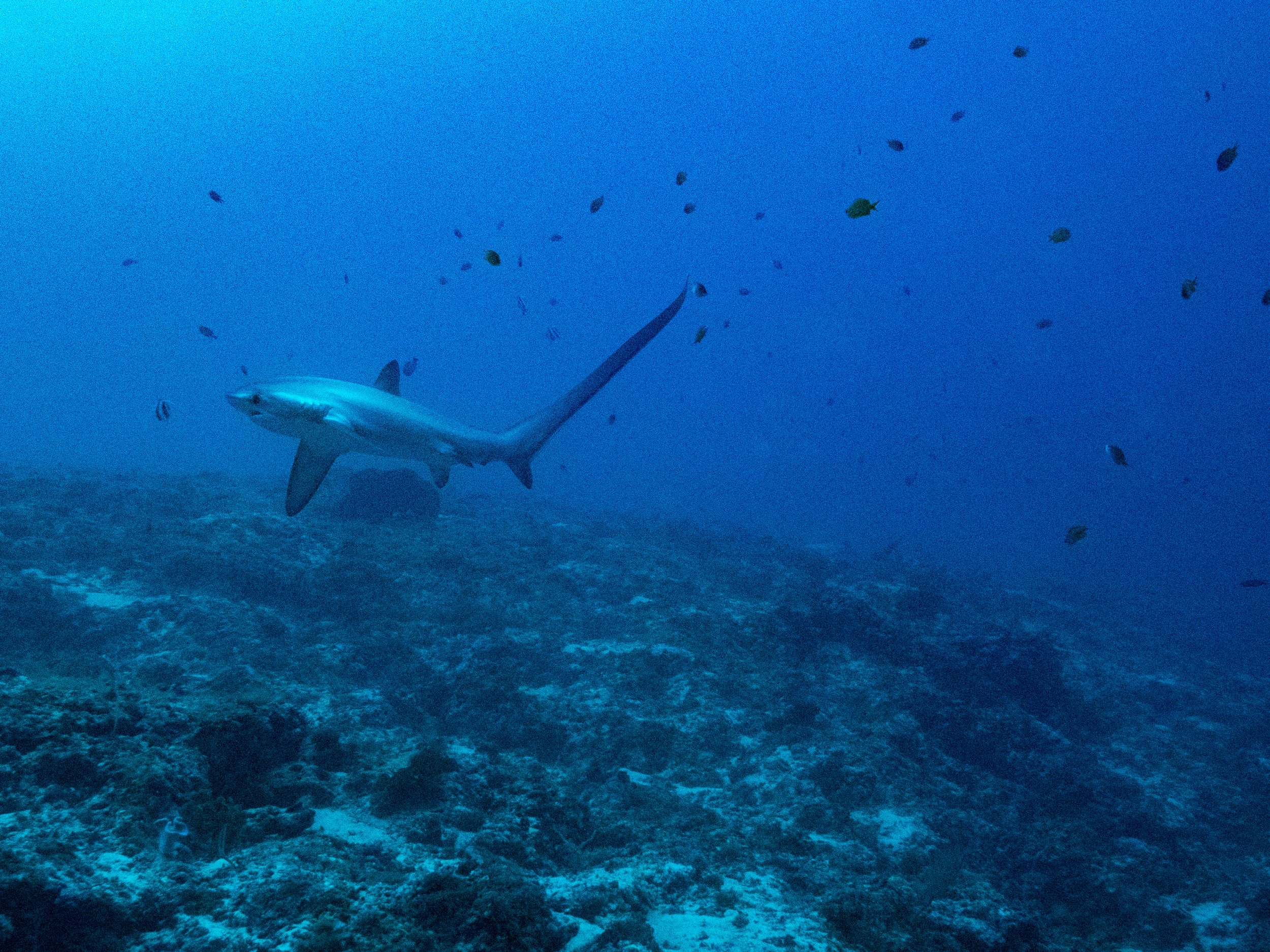 Thresher shark.jpg