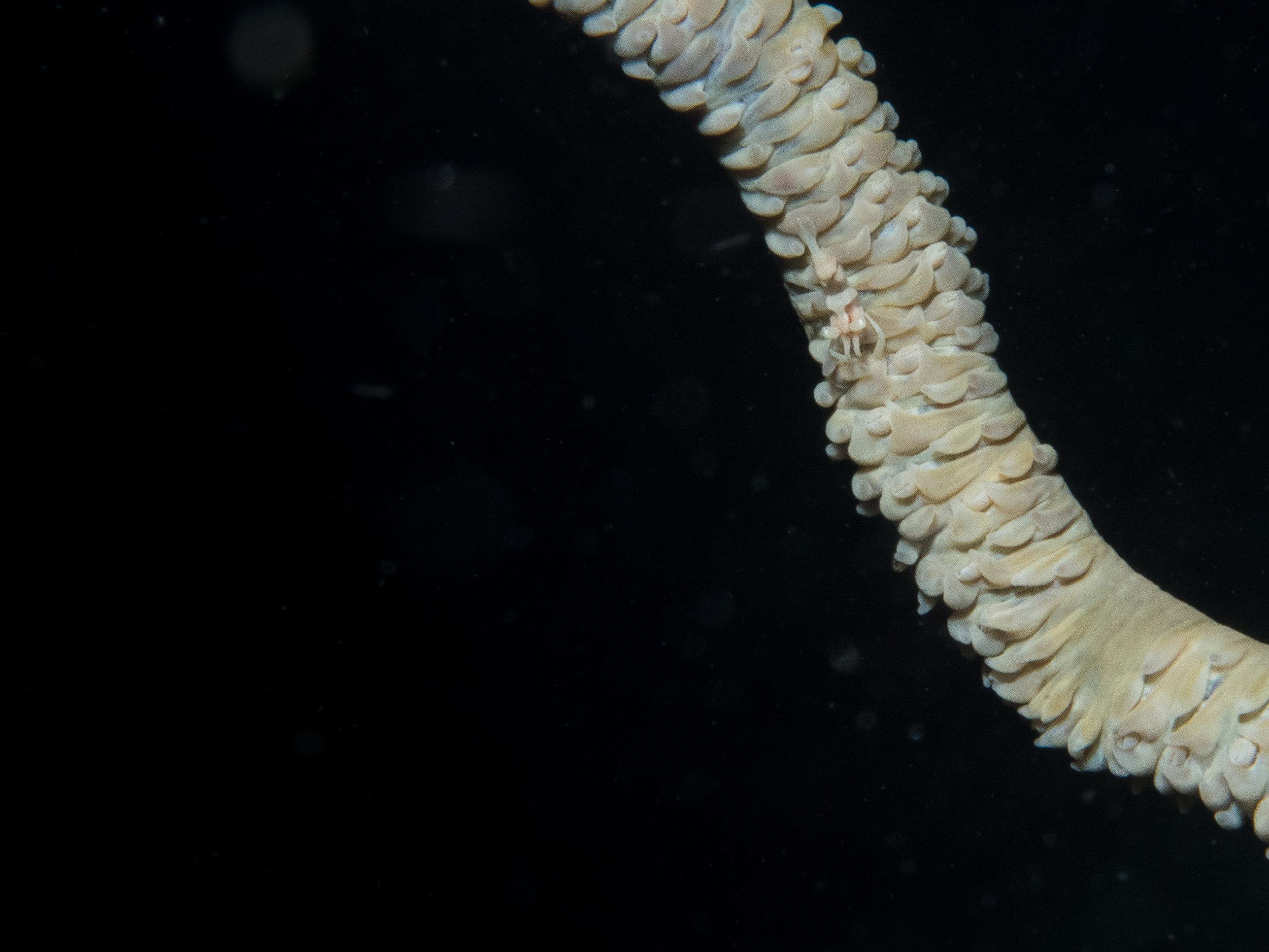 Whip coral shrimp (white).jpg