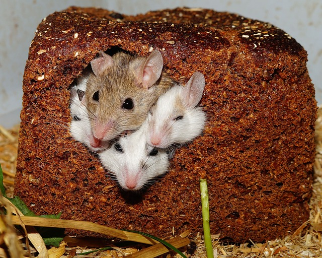 mice on high-fat diet
