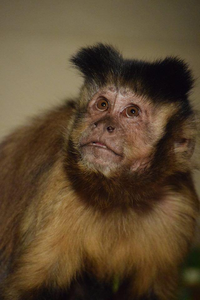Capuchin -