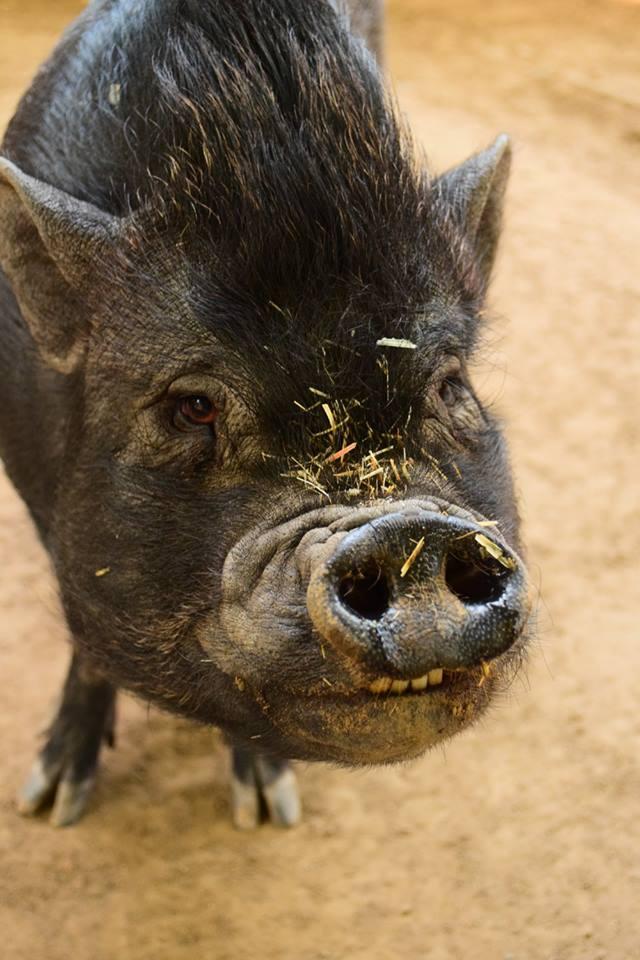 MINIATURE pig  -