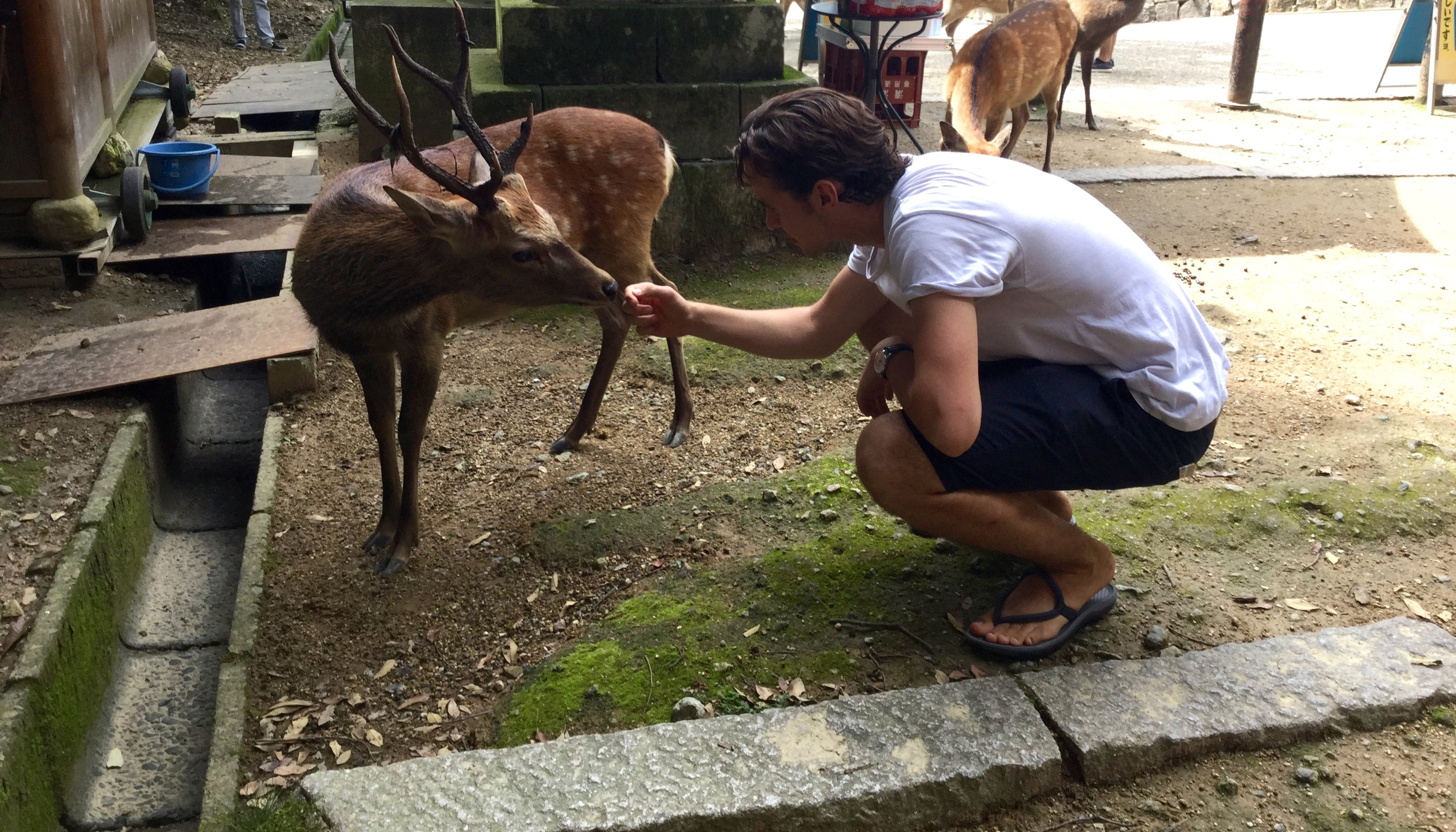 Hundreds of deer freely roam the city streets of Nara.