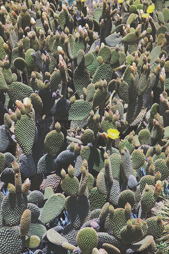 Prickly Pear Cactus  by Catherine McDonald
