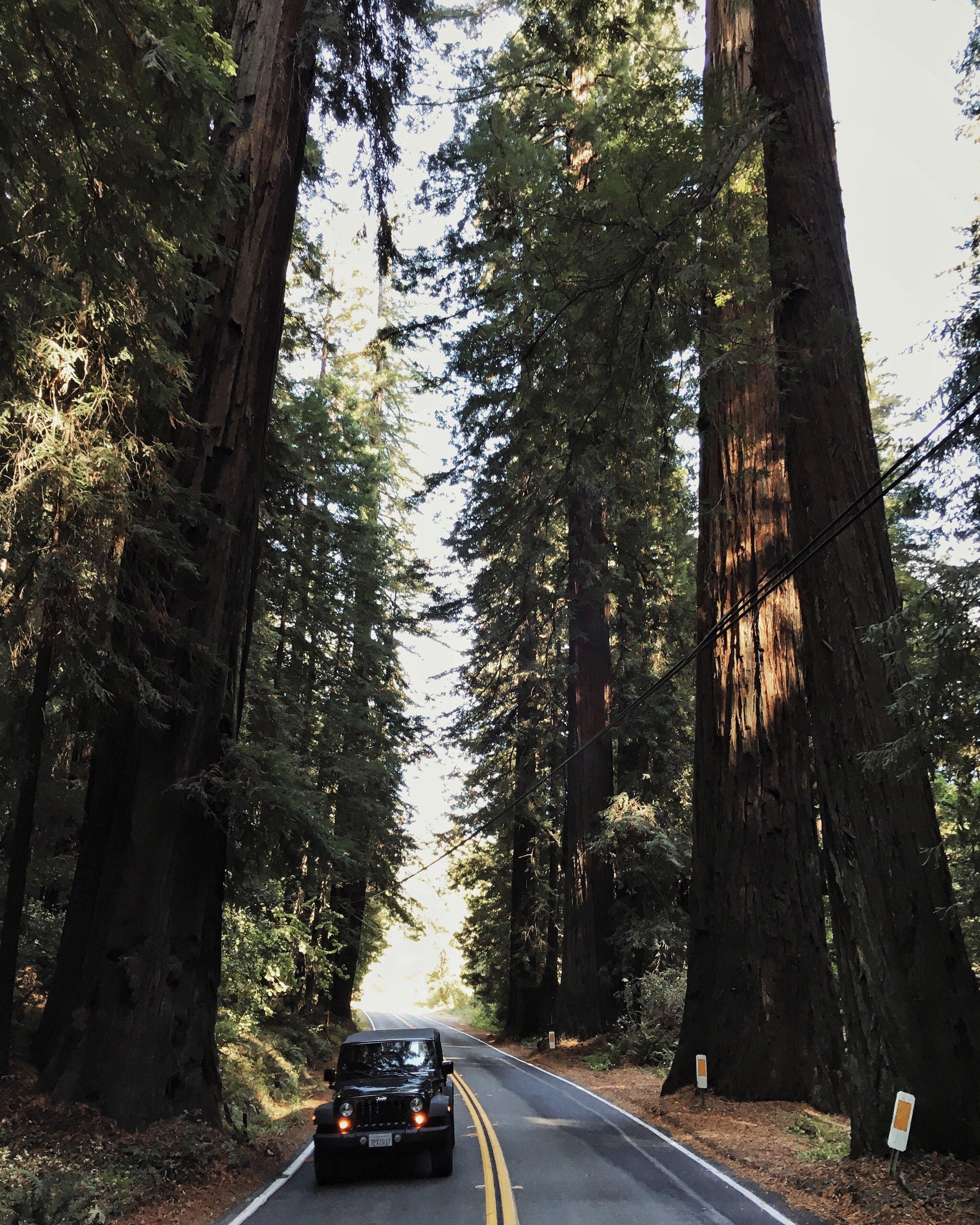 Redwood_Avenue_of_giants_ez_car_rental