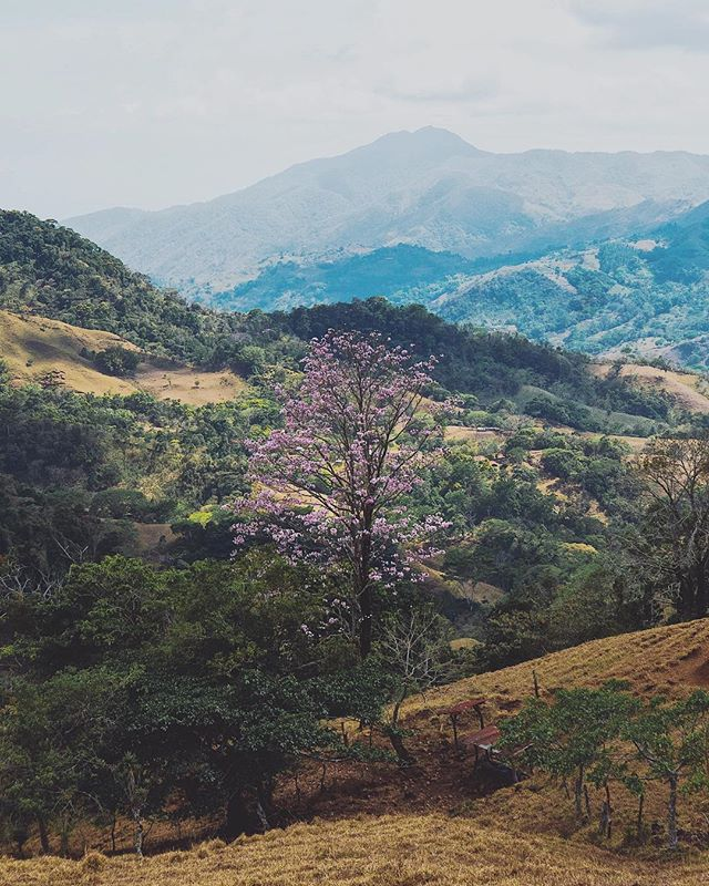 During the dry season, wonderful pink trumpet trees bloom across the landscape of Costa Rica. The leaves fall and the trees bloom with flowers ranging in color from pastel pink to pastel maroon 🇨🇷 . . #costarica #pinktrumpettree #landscapephotography #dryseason #bloom #mountain #puriscal