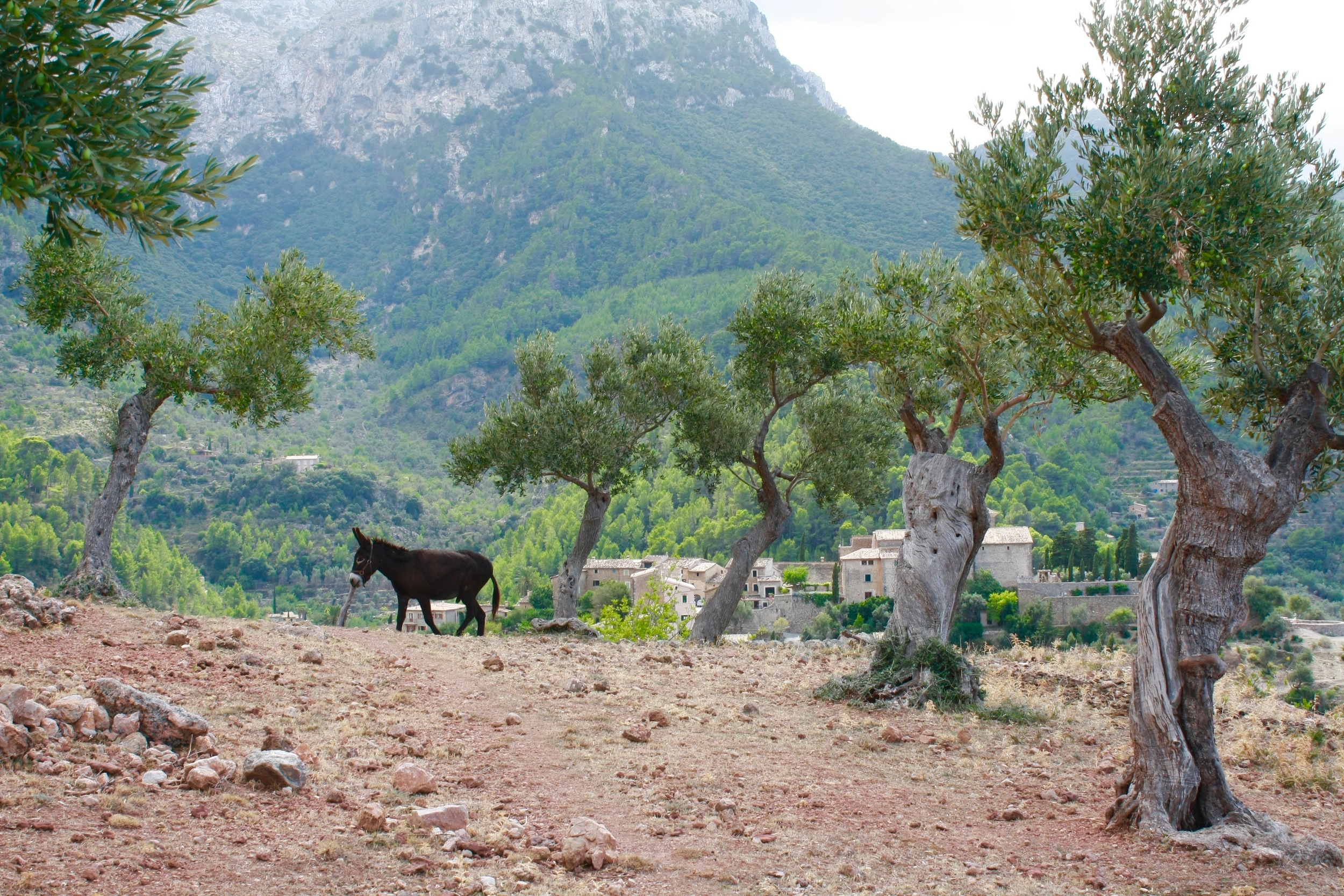 Love this sneaky shot I got of Pancho walking by the olive groves.