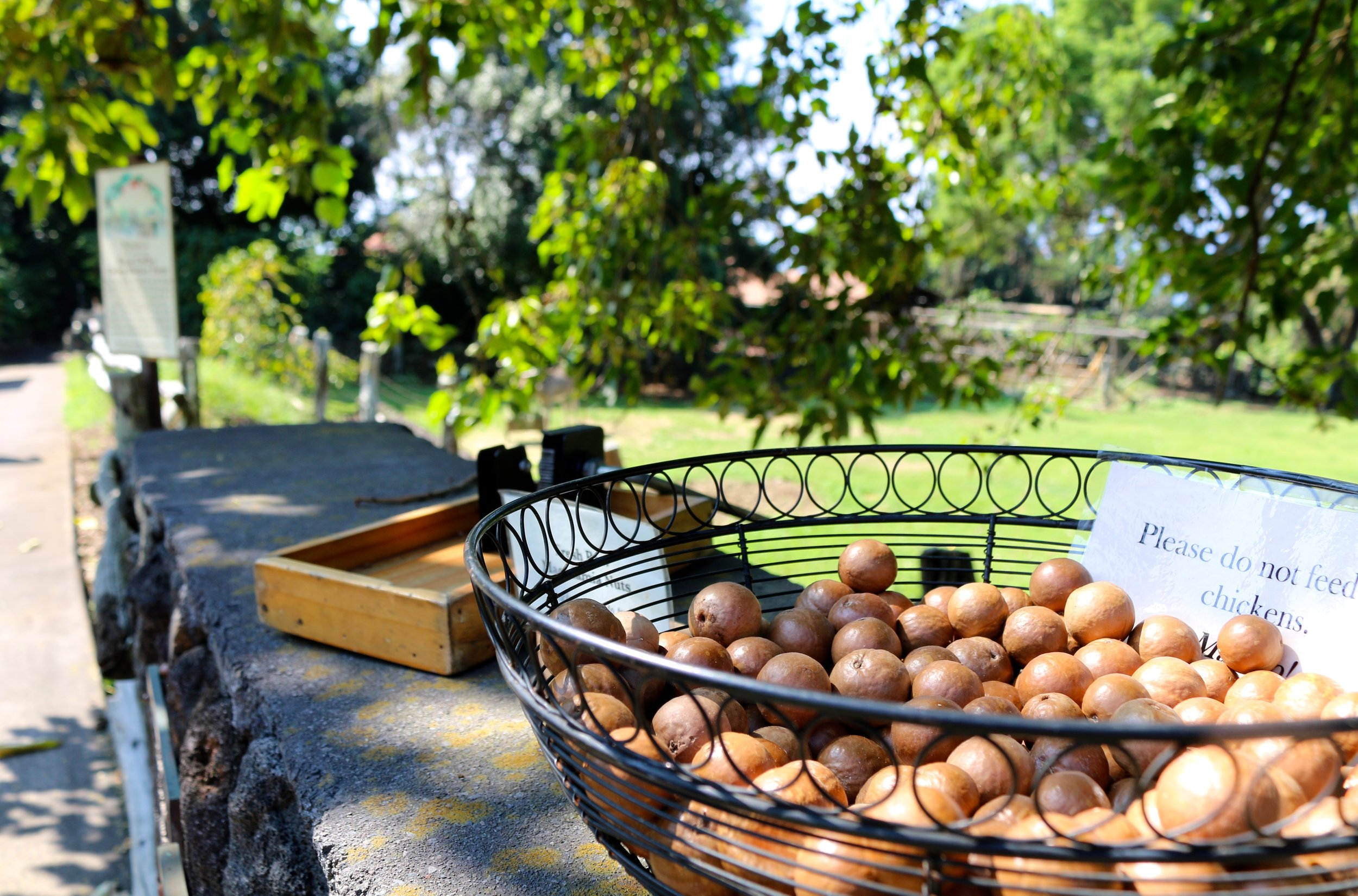 CRACK YOUR OWN MACADAMIA NUTS AT THE ENTRANCE OF  KONA COFFEE LIVING HISTORY FARM