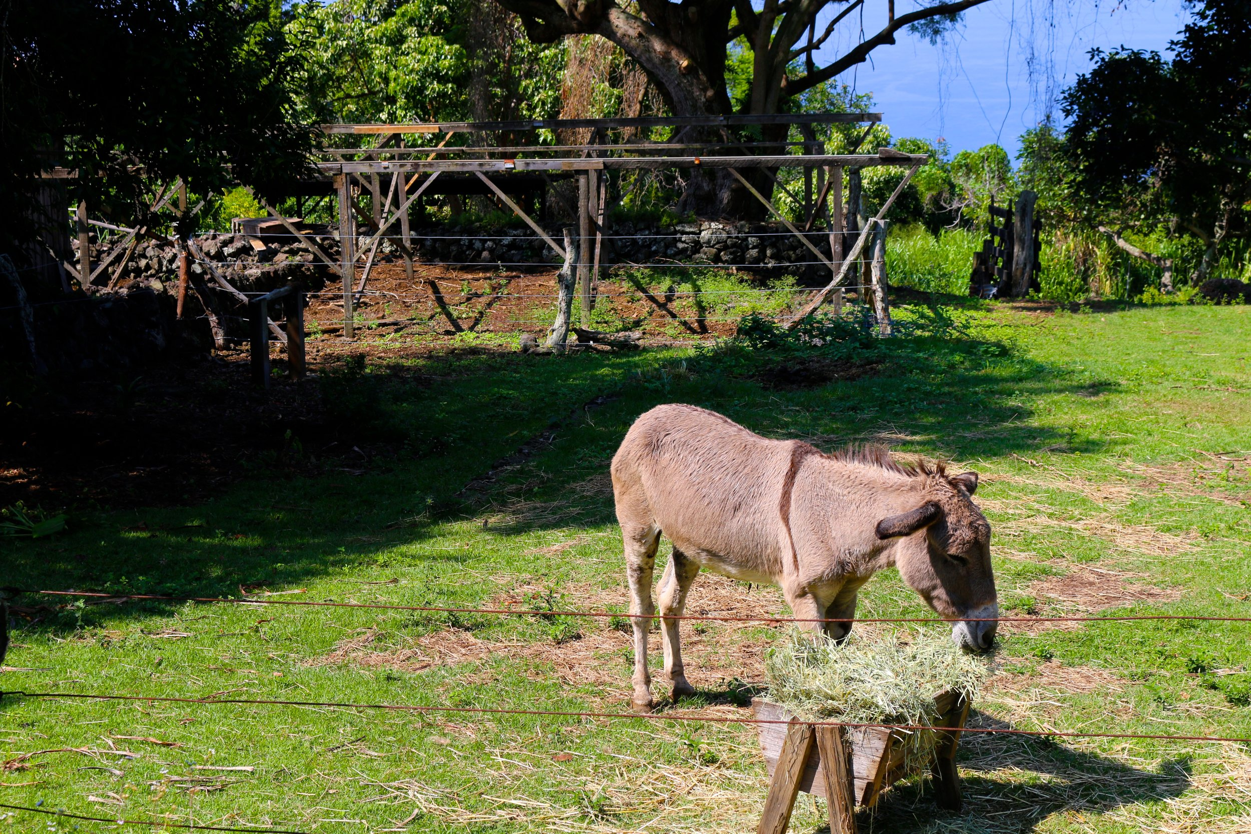 CHARLIE THE RESIDENT DONKEY AT  KONA COFFEE LIVING HISTORY FARM
