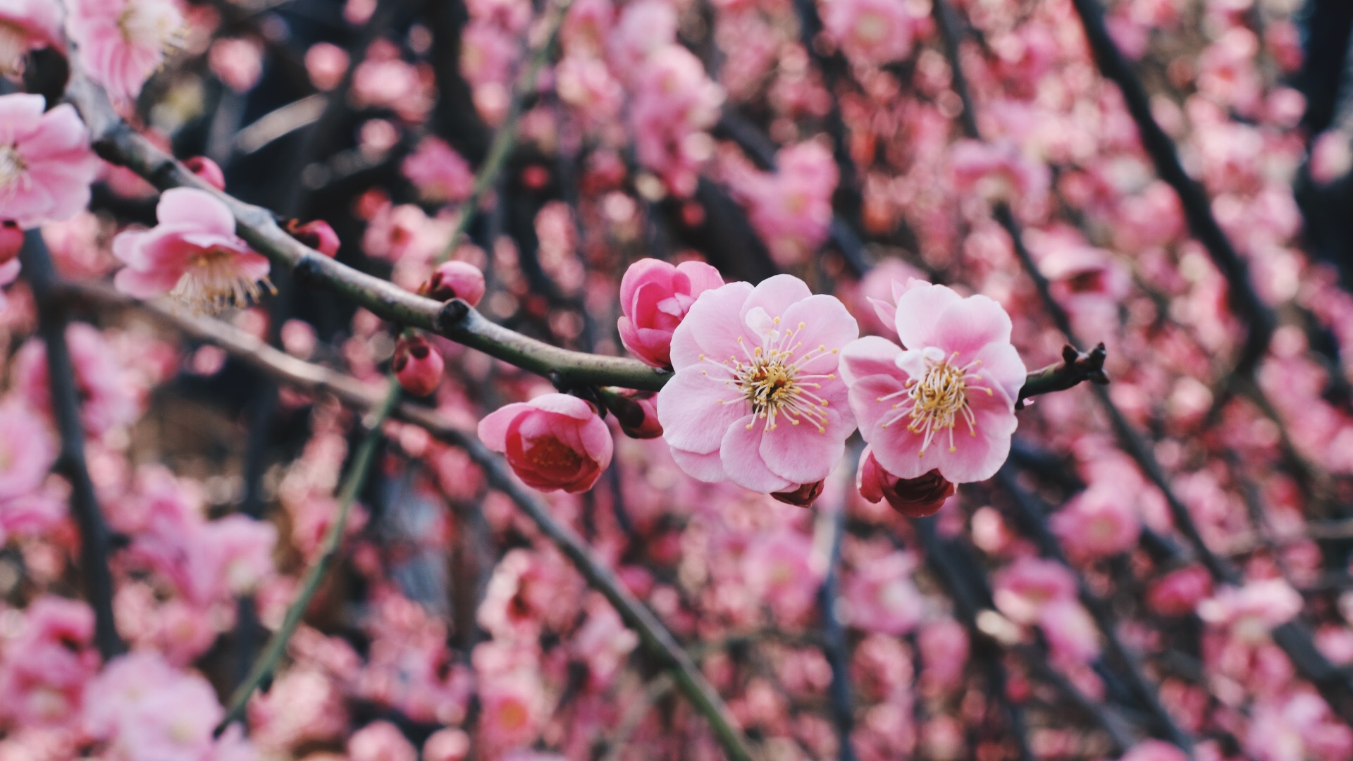 Still can't tell the difference between cherry and plum blossoms...