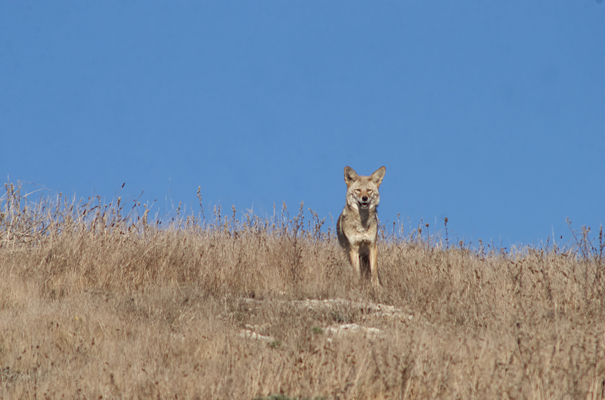 Coyote, Point Reyes