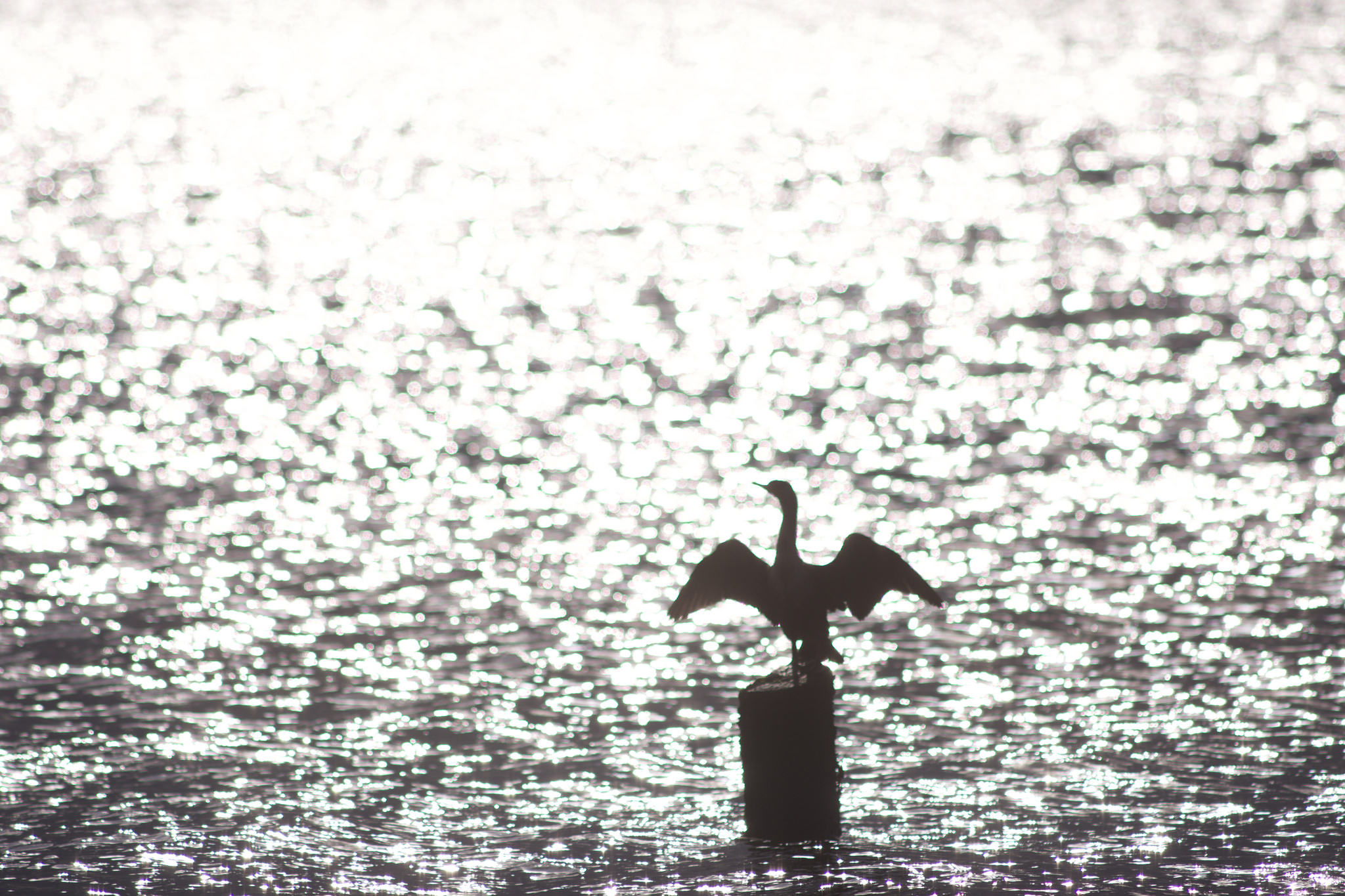 Cormorant / Light