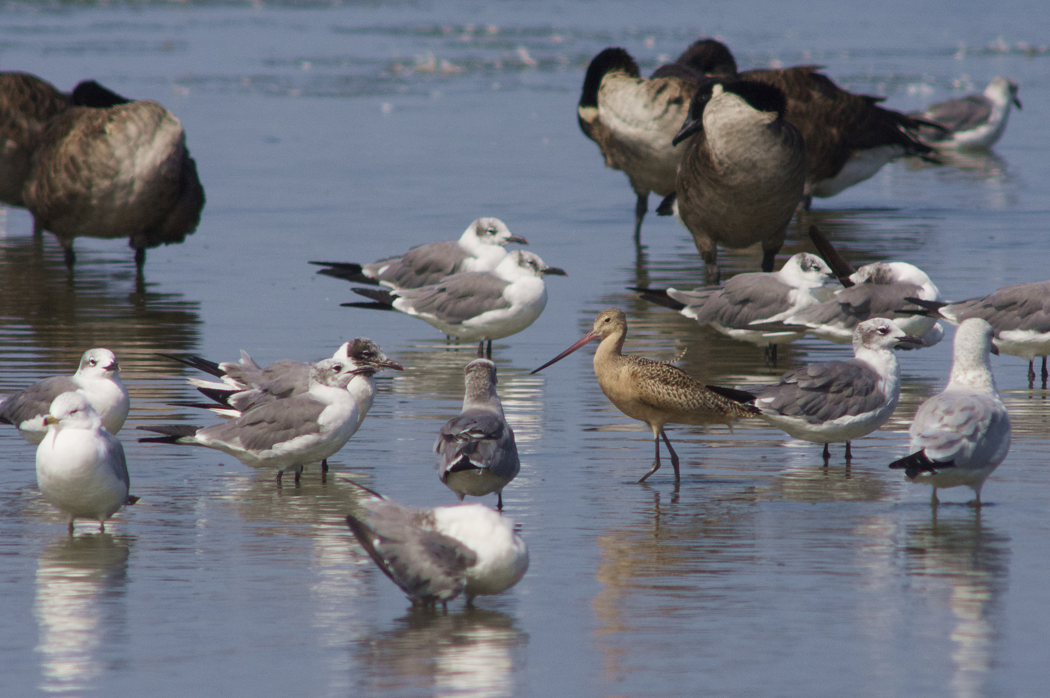 Marbled Godwit, Canada Geese & Gulls