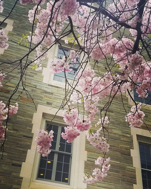Sakura clouds @cornelluniversity. #sakura #clouds #cornell
