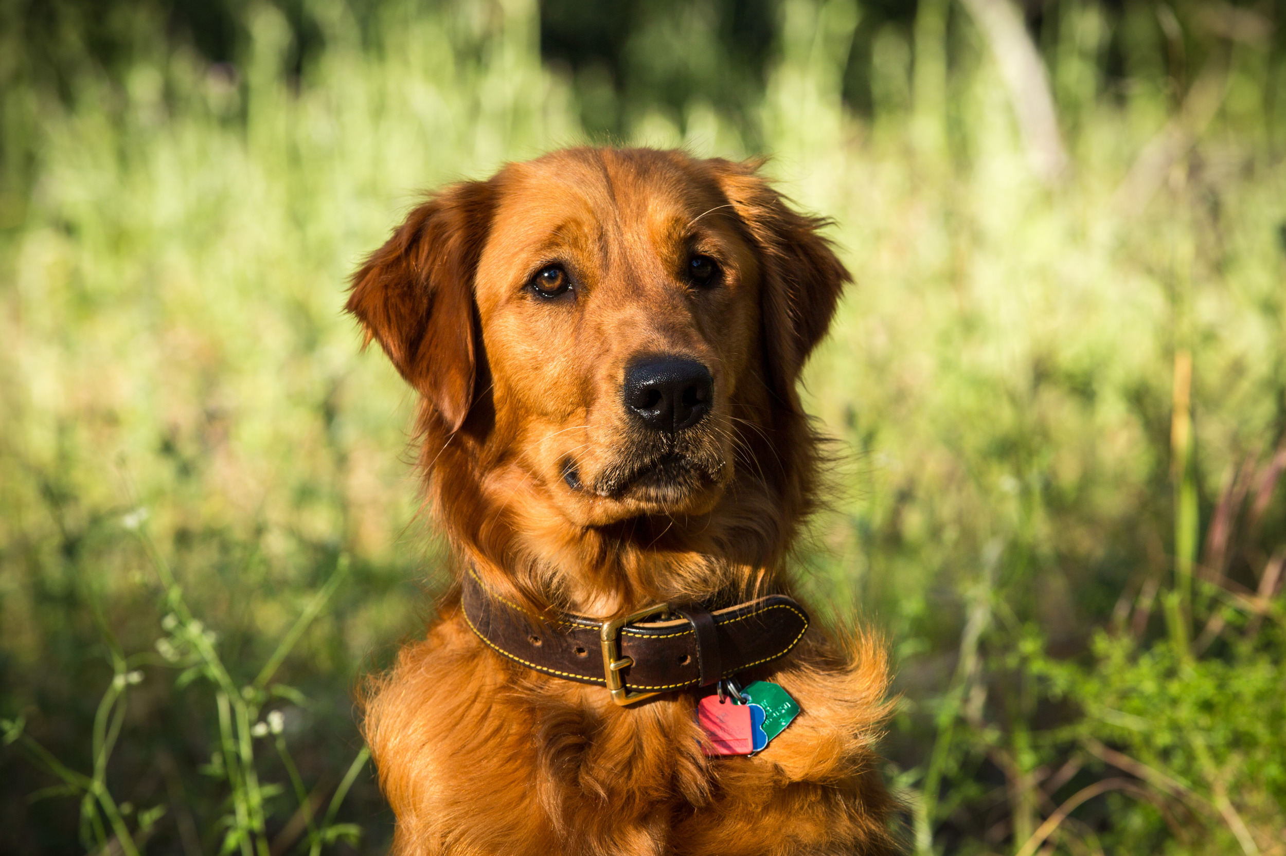 Portrait of dog, Golden Retriever, in park, Lake Anderson Dam Park, Morgan Hill, CA
