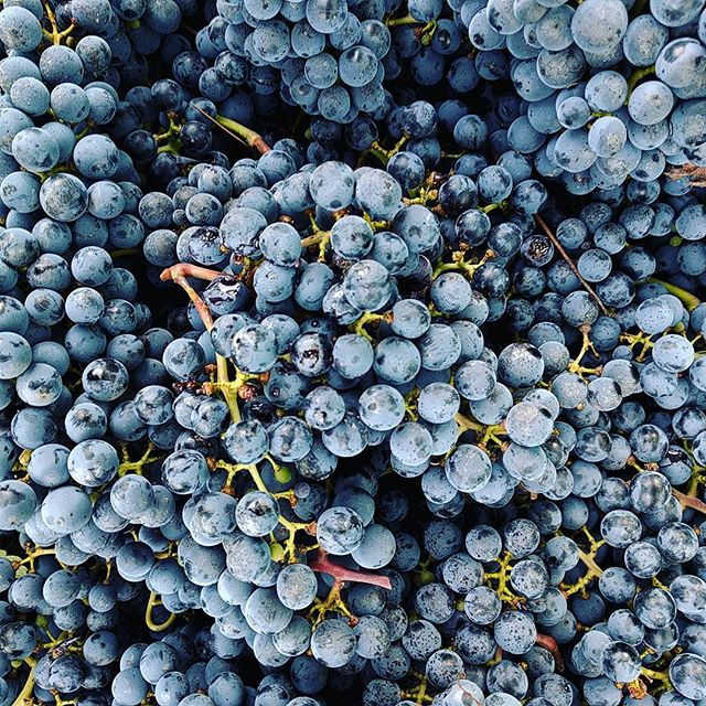 You can drink them later.  #grapes #wine #notl #harvest #perridisowine