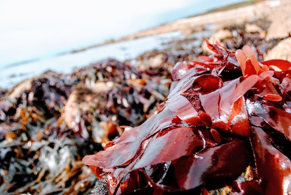 - Seaweed is naturally rich in vitamins, key nutrients and health-promoting compounds, which is great for functional foods (these are foods which do more for your bodily functions than simply nutrition).