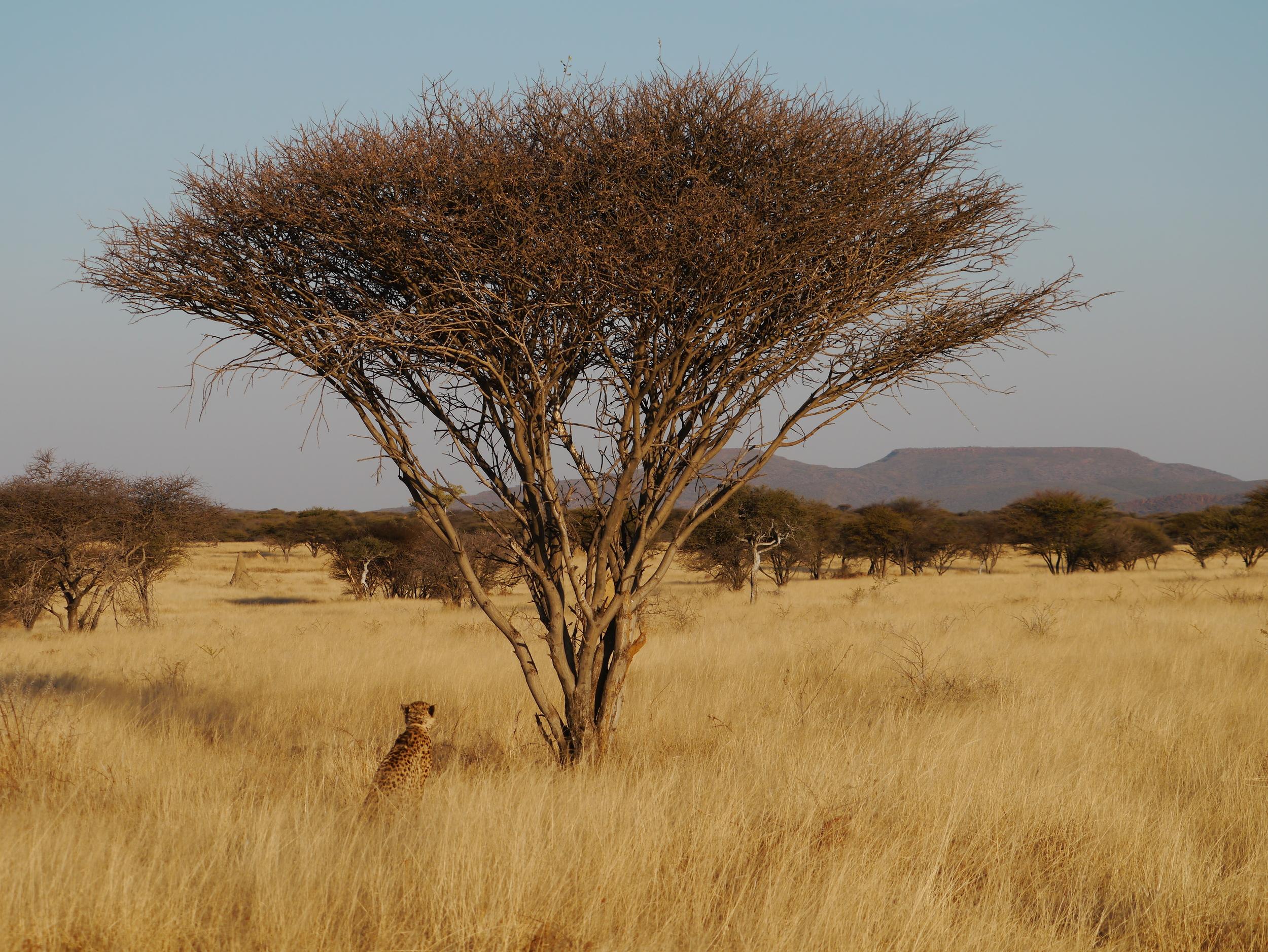 Animal, cheetah siblings, Okonjima  (55).JPG