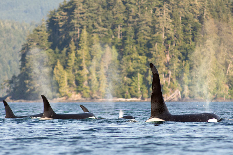 orca-dreams-orca-killer-whale-kayaking-whale-watching-compton-island-blackney-pass-british-columbia.jpg