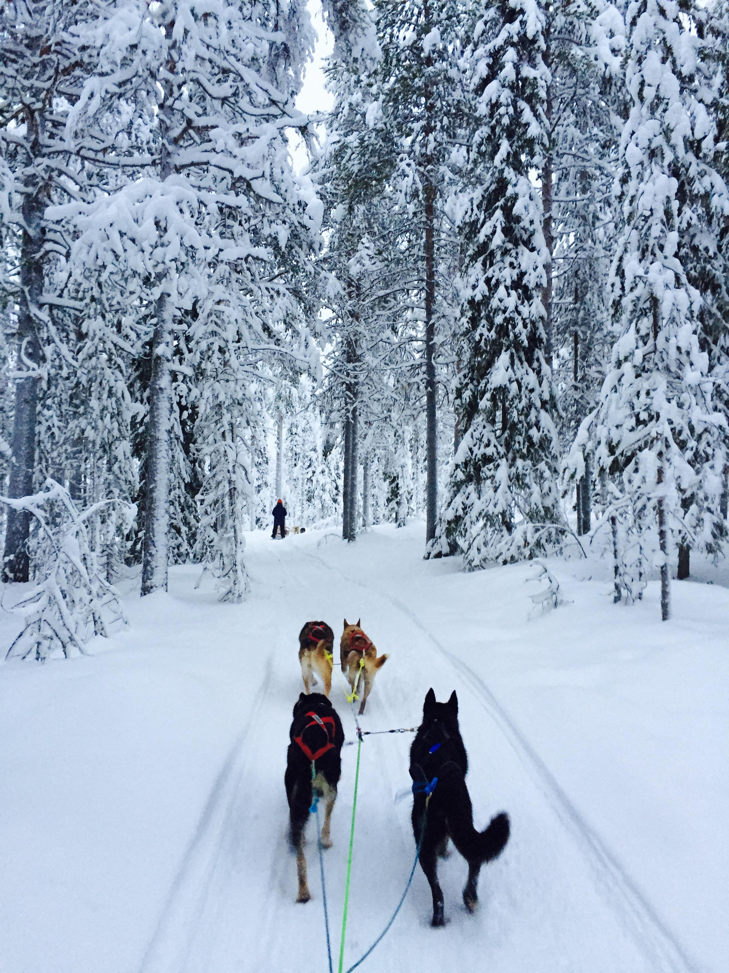 dogsledding in snowy taiga forest.jpeg