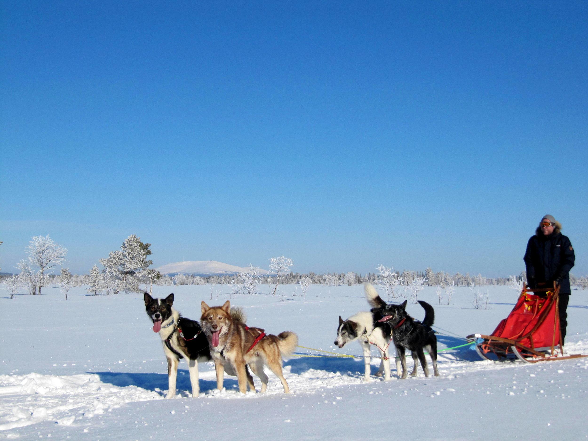 Dogsledding in Lapland.JPG