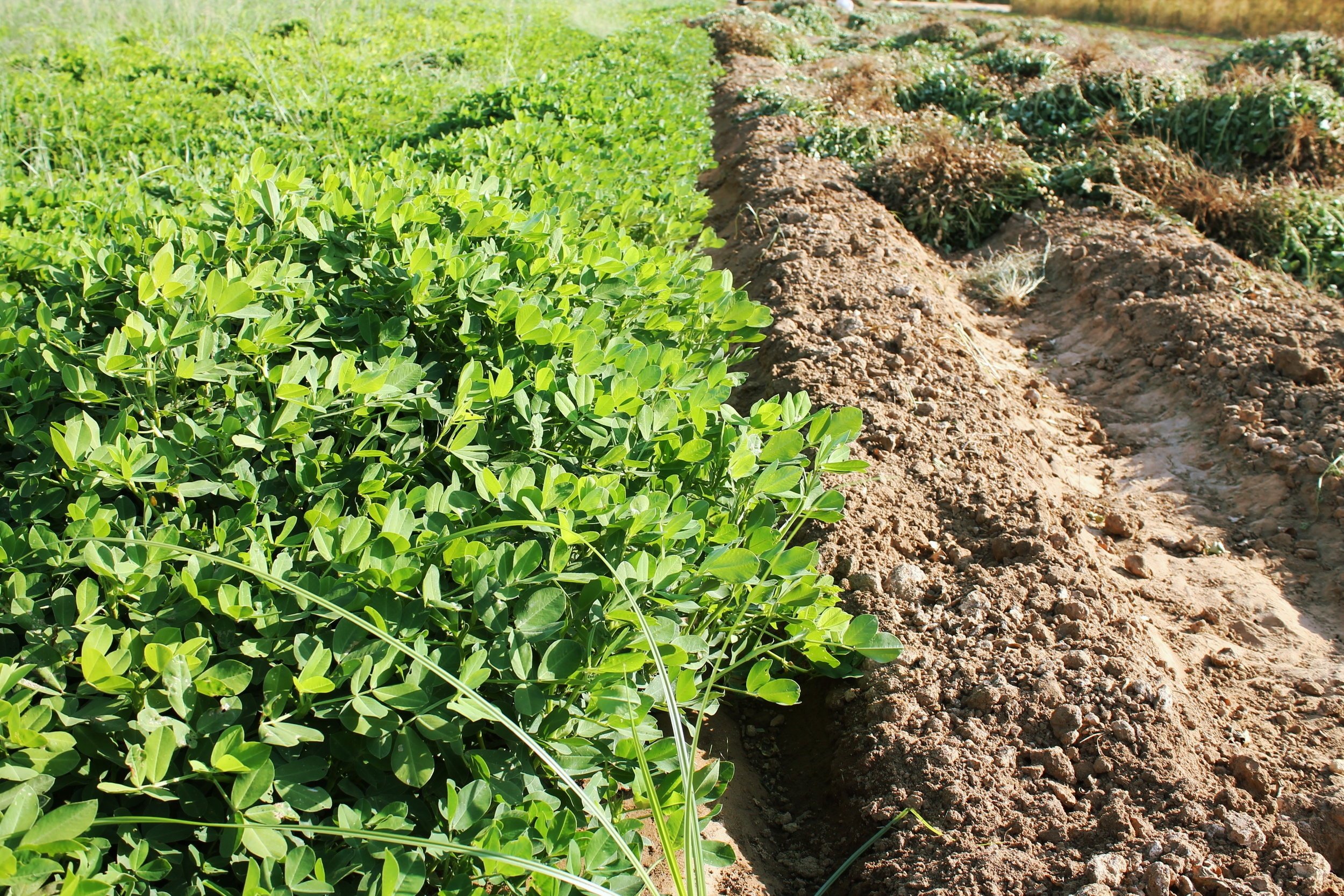 Sanger, CA:  Peanuts planted on small farms in the San Joaquin Valley organically restore nitrogen necessary for plant growth to the soil without perpetual use of synthetic fertilizers.