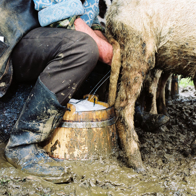 Shepherd Milking Sheep (2006)