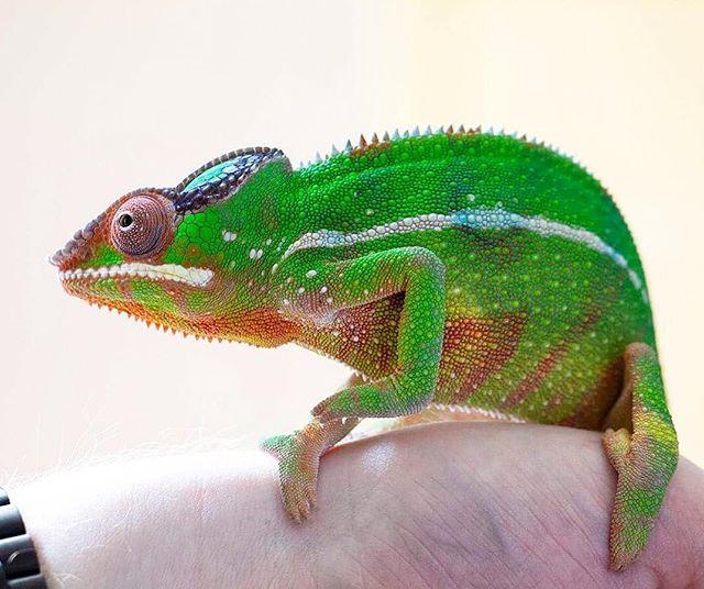 Looking good Orbit 🦖😃 . . . #pantherchameleon #chameleon #Furciferpardalis #nosymitsio #reptile #chameleonsofinstagram #exoterra