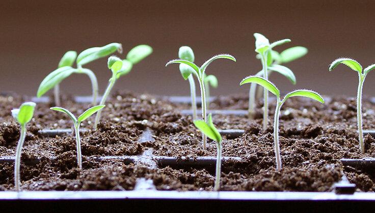 7882-tomato-seedlings.jpg