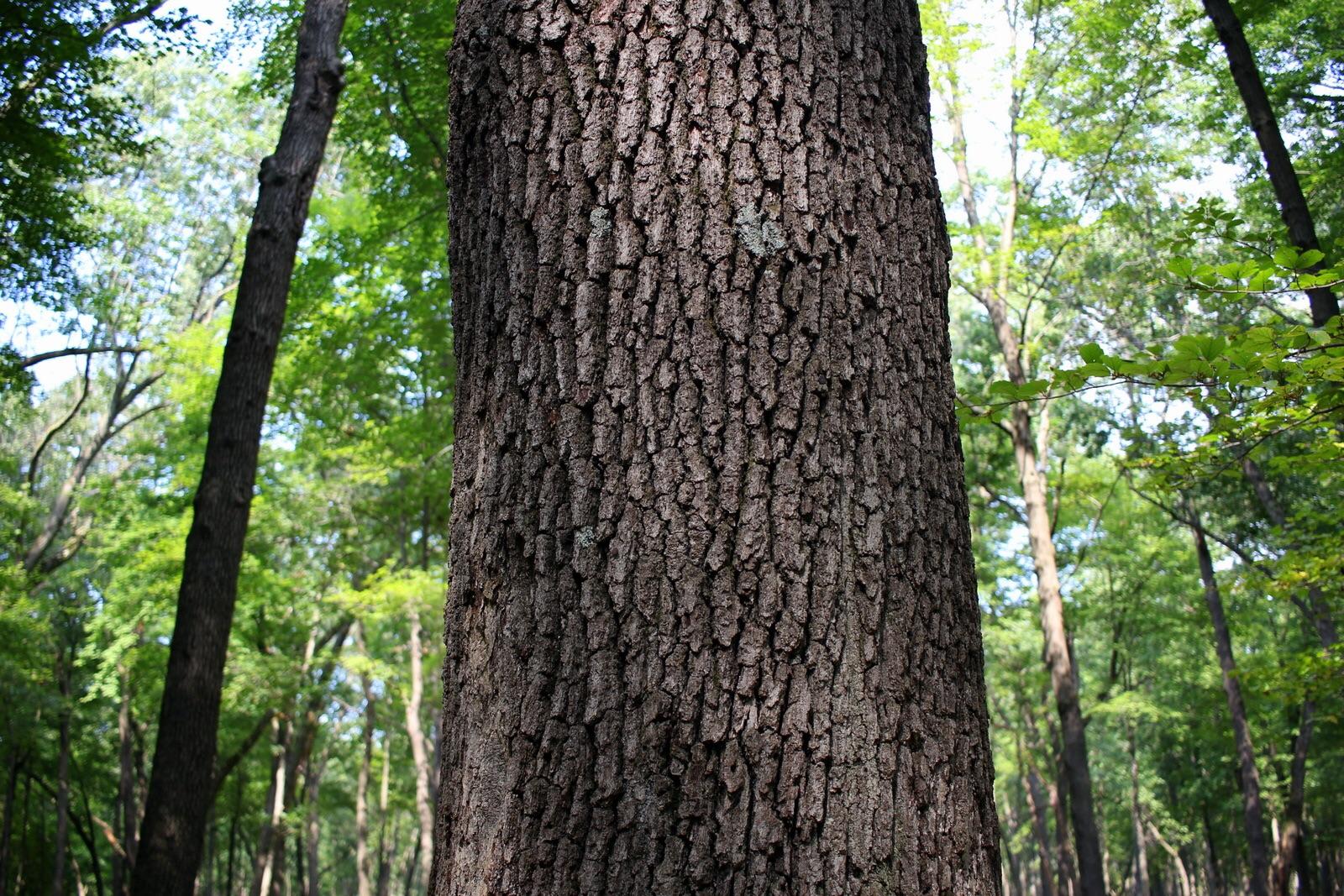A big oak.
