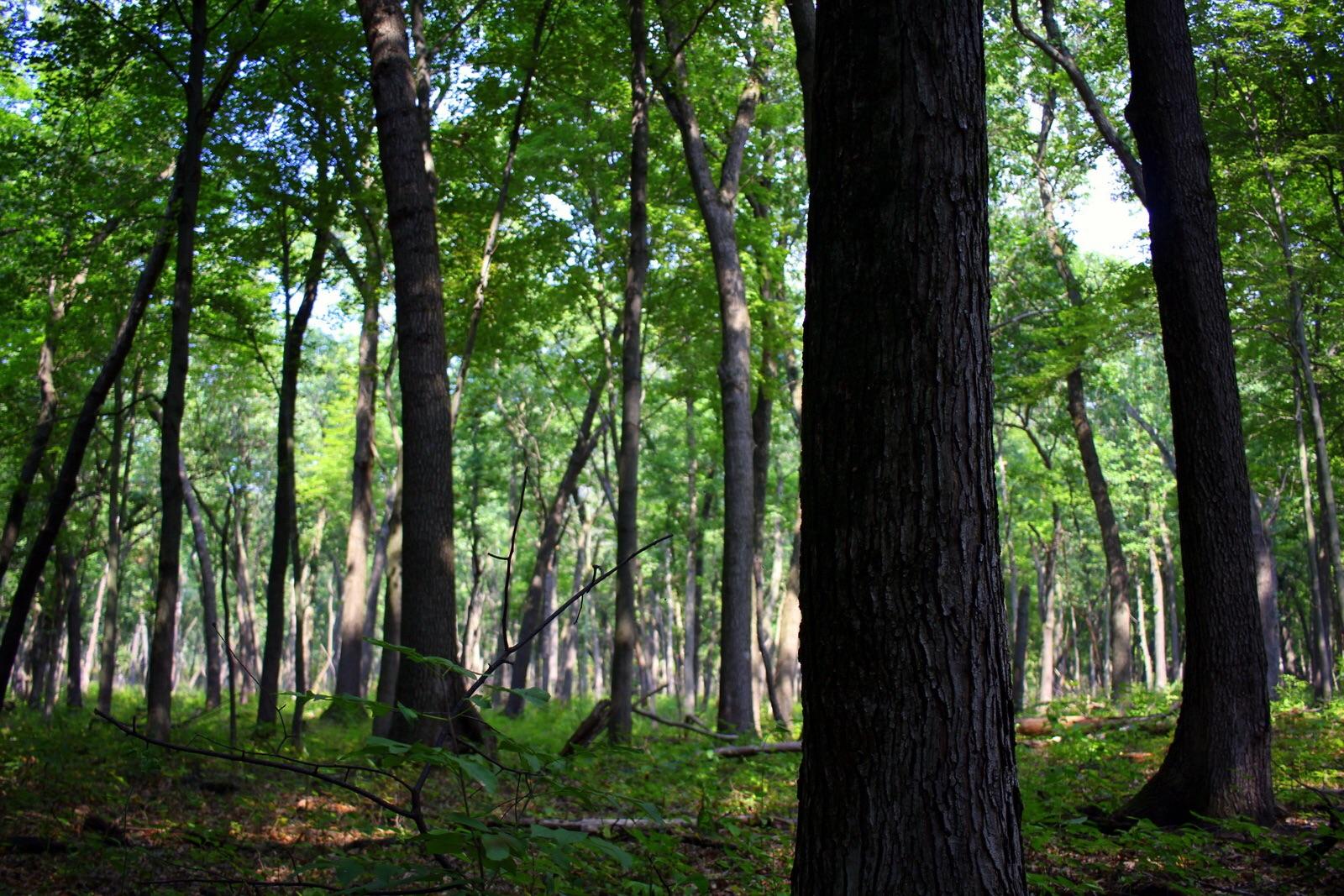Oaks in the oak savanna.