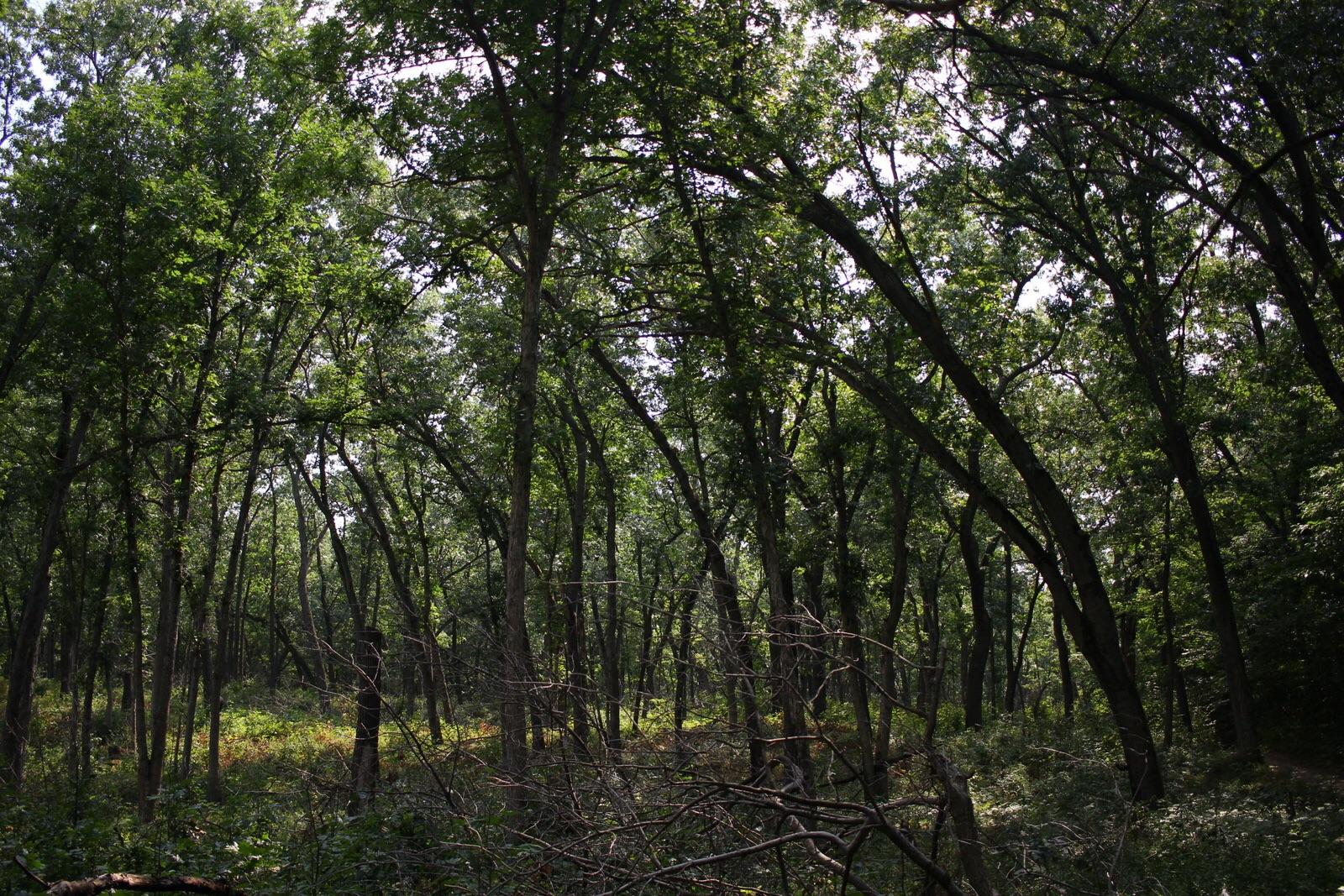 Denser, darker oak savanna.