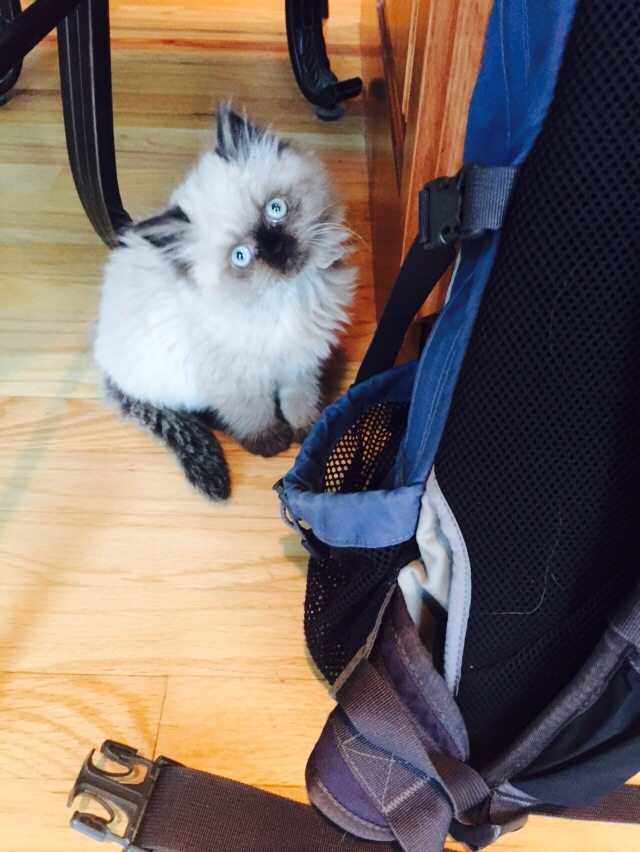 This kitten likes my backpack.
