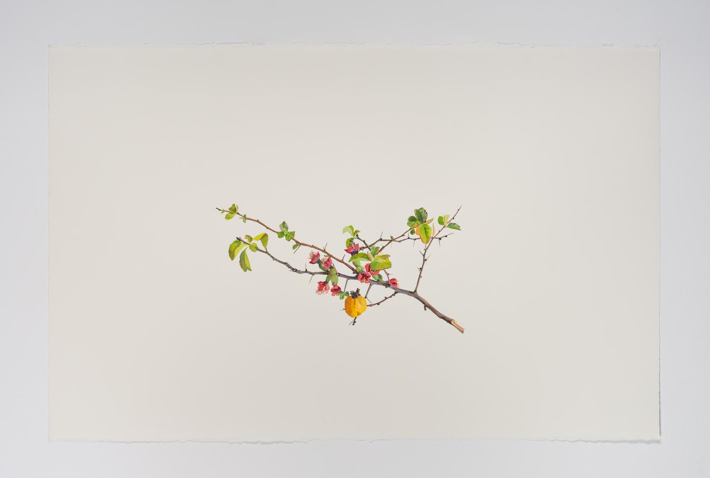 Quince Fruit (Cedar Rose)