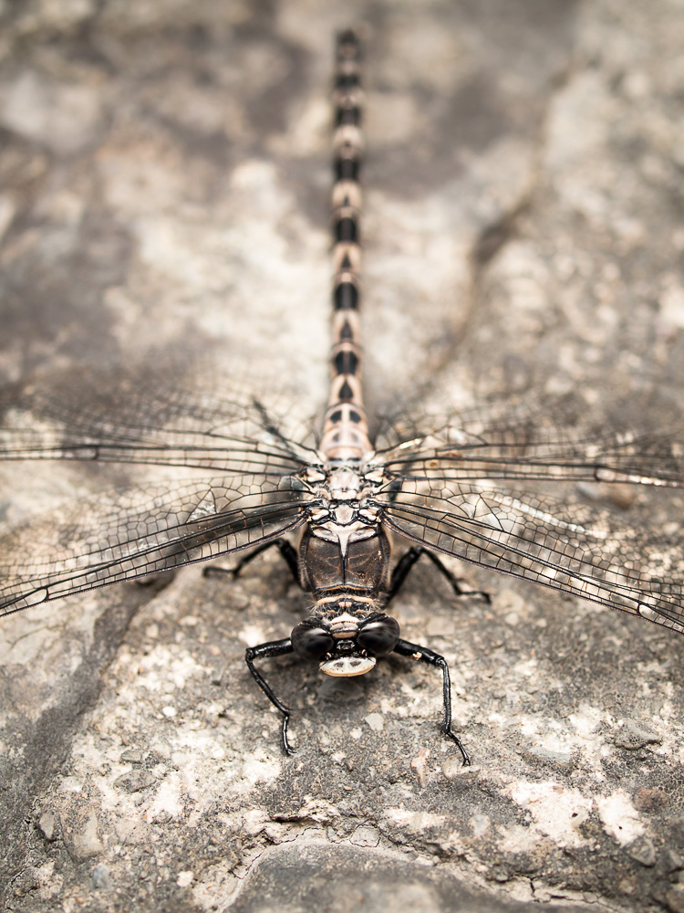 Gray Petaltail Dragonfly