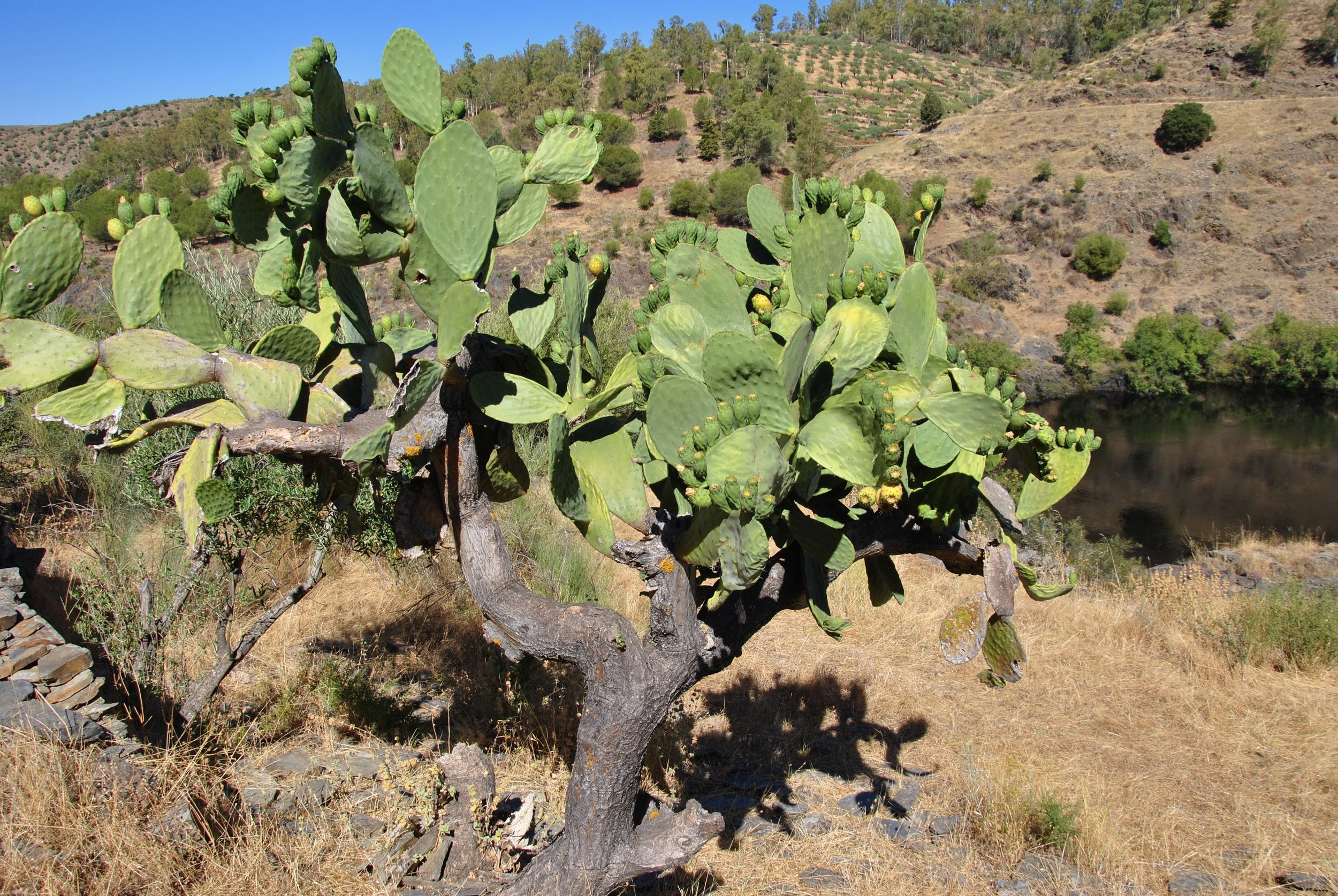 prickly-pears-spain