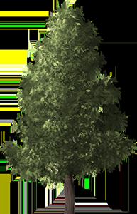 pine-tree-1480300_960_720.png