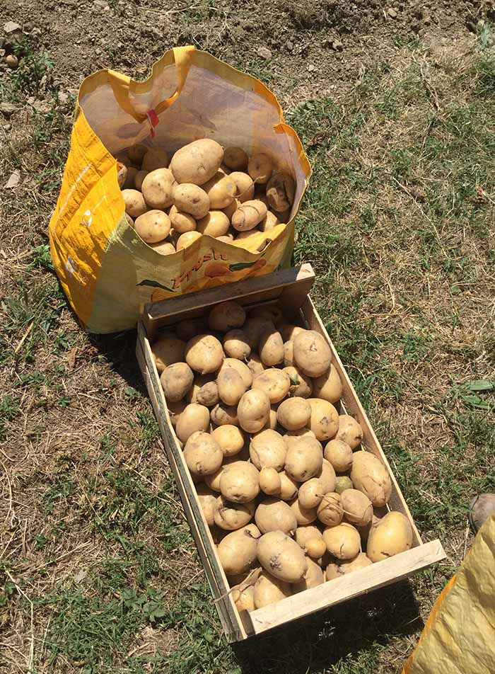 We discovered over 800 potatoes!