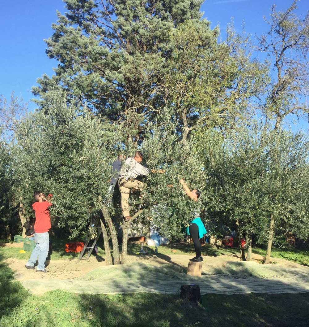 picking-olives-tuscany.jpg