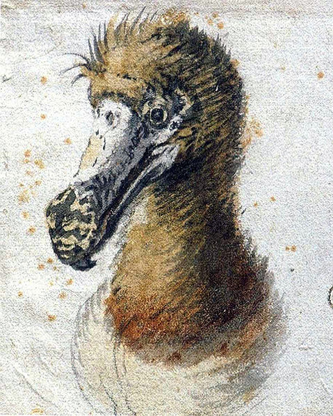One of the last paintings of a living dodo by  Cornelis Saftleven  (1607-1681)