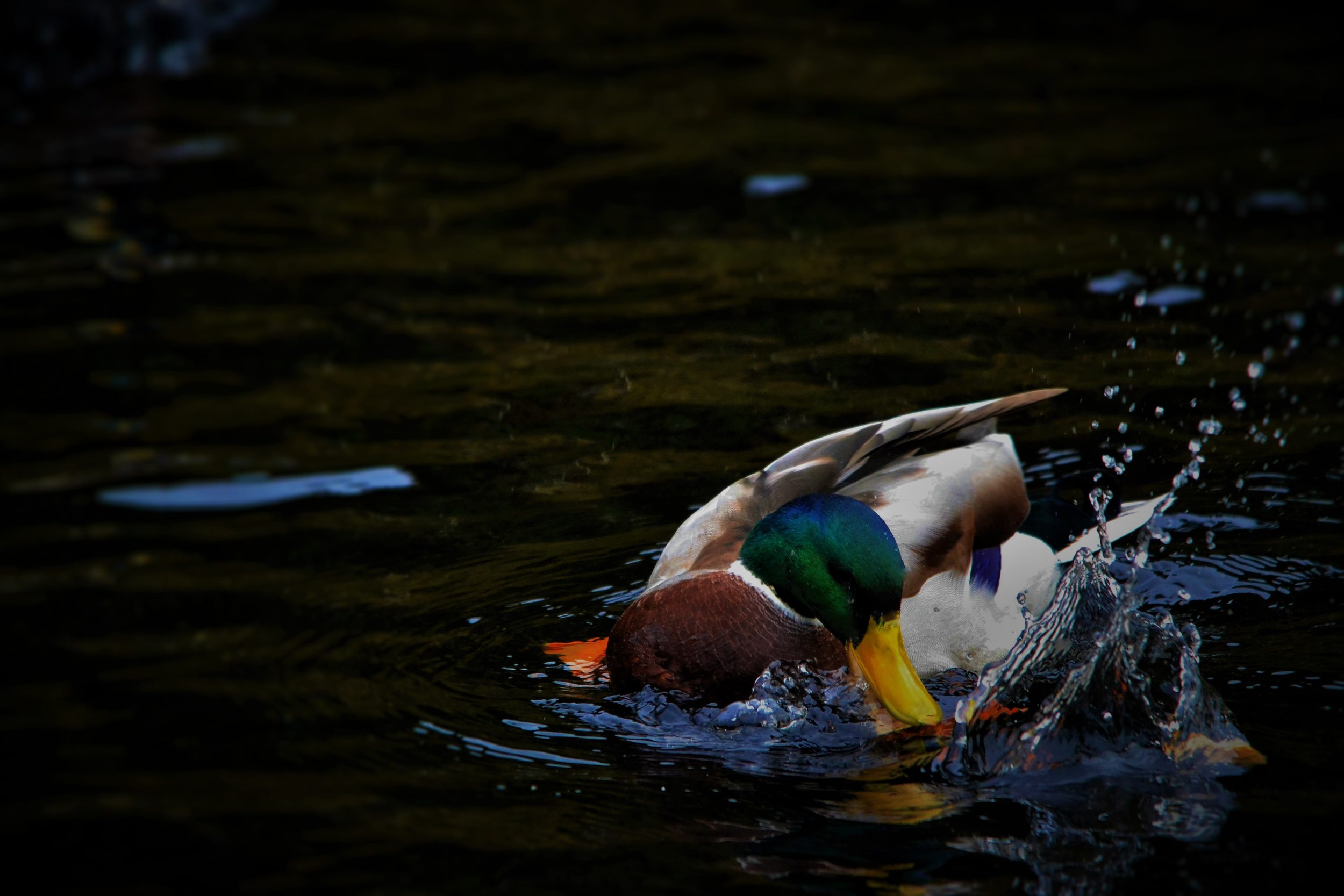 A duck for a forest roast. Pic by  Tore Skogheim .