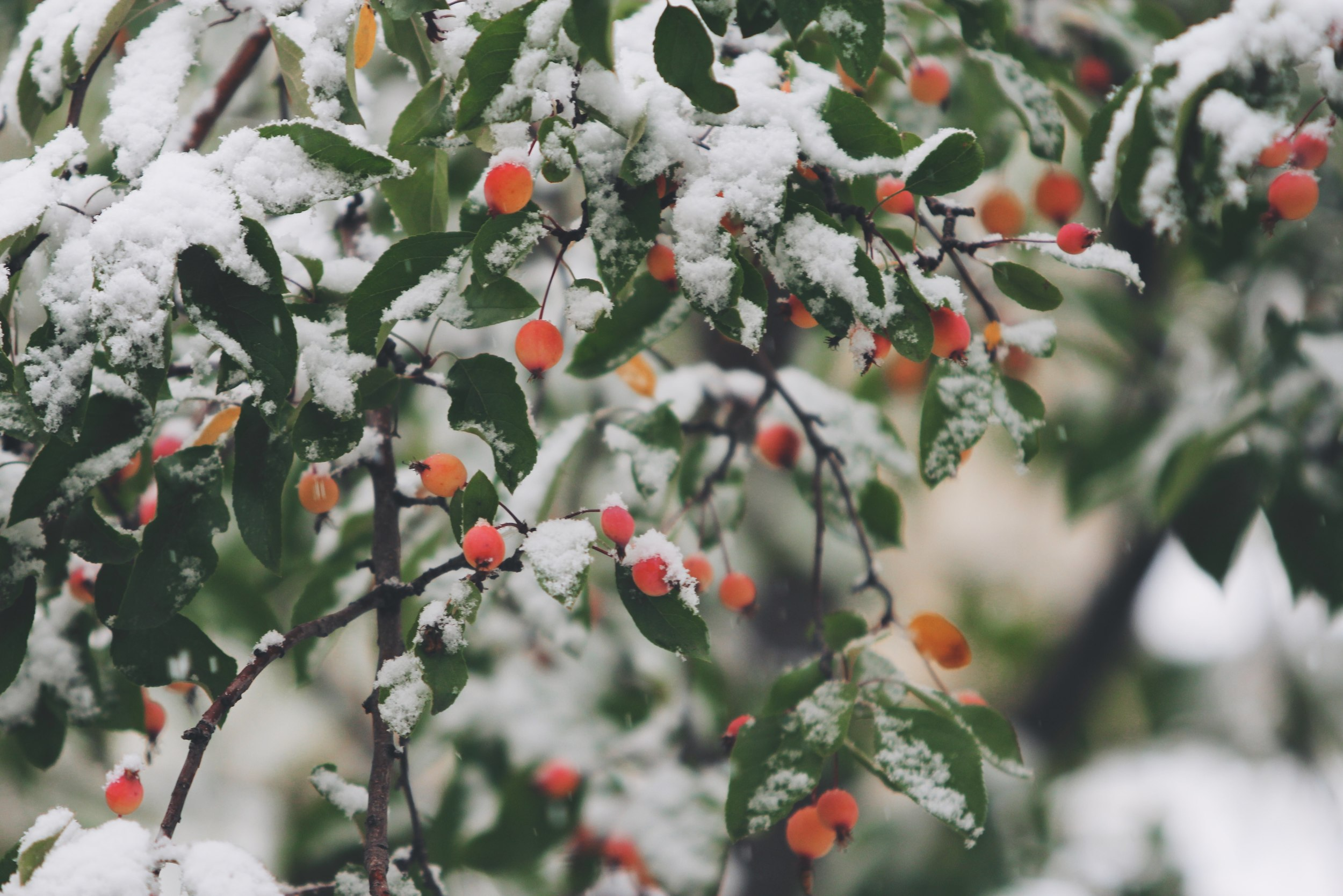 Rosehips in the snow. Photo by  John Price.
