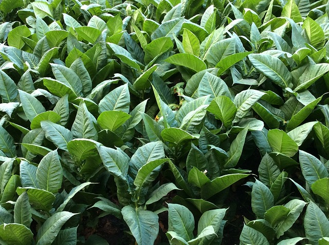 Green tobacco leaves. Photo by  Juan Tortola .