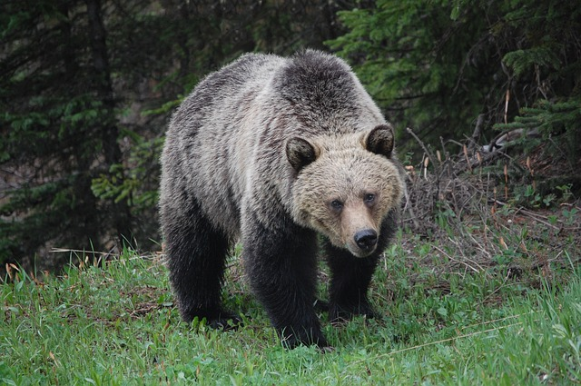 Respect for the grizzly keeps your brain functioning when you meet her. Photo by  Arthur Topham .