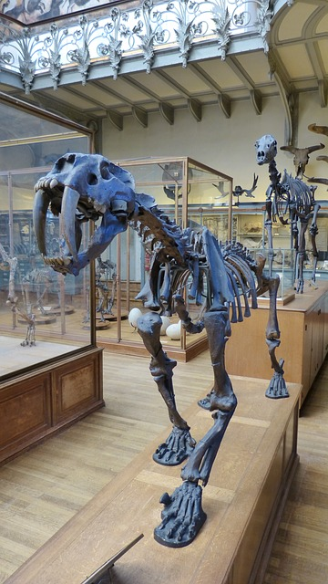 Skeleton of the extinct sabre-tooth tiger in the British Museum. Photo by  7854 .
