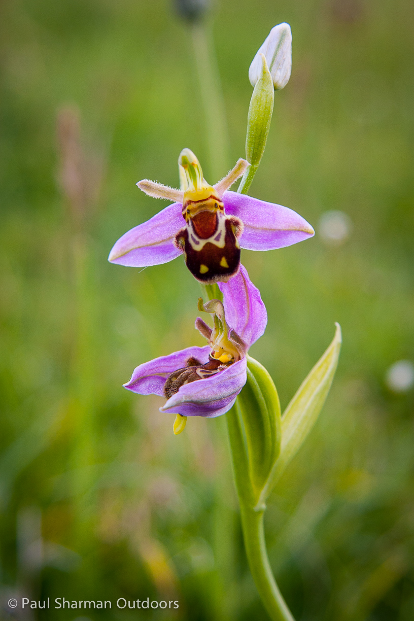 Bee orchid from the South Downs National Park in Sussex.