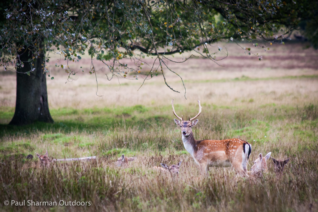 Fallow deer stag on guard duty at Petworth Park in Sussex.