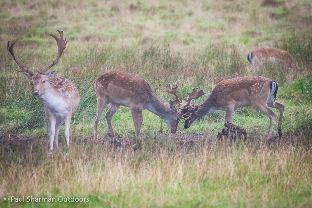 I'm not sure this large stag quite trusts the two younger males sparring next to him.