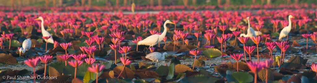 A sea of pink lotus opening in the early morning light at Thale Noi in Thailand.