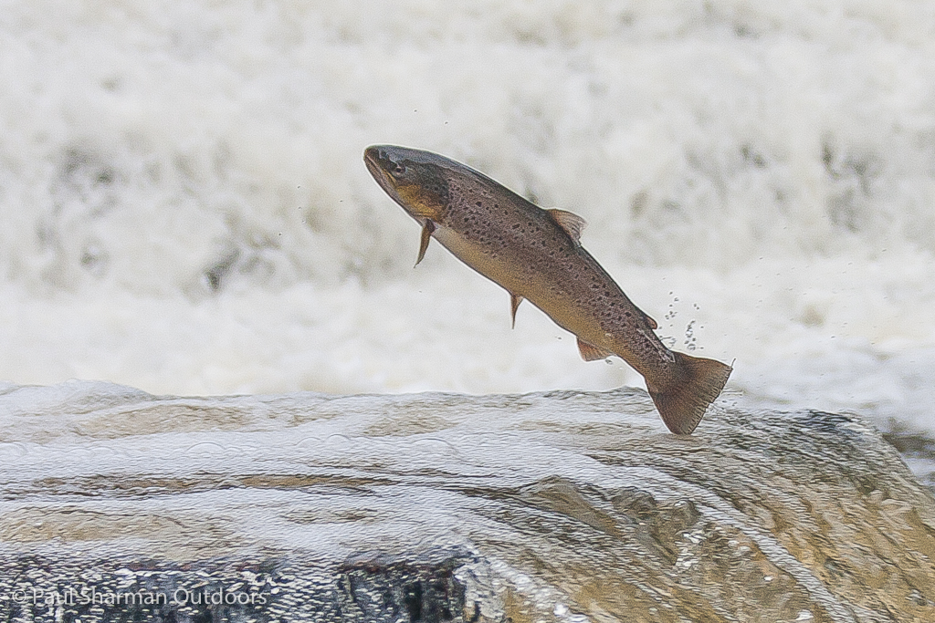 A sea trout leaps up a fish ladder on the River Ouse in the heart of Sussex