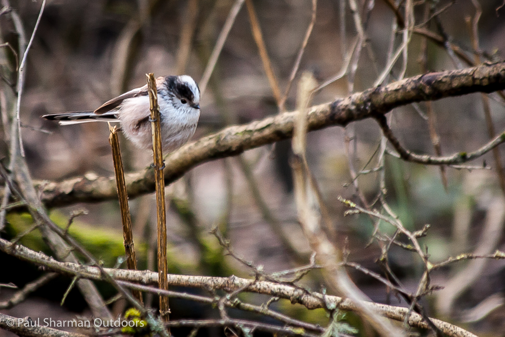 Long-tailed tit waiting his turn at the feeders